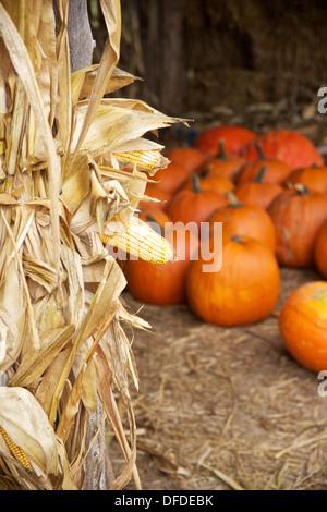 Getrocknete Maisstiel mit großen Kürbisse im Hintergrund bei einem Herbstfestival - Stockfoto