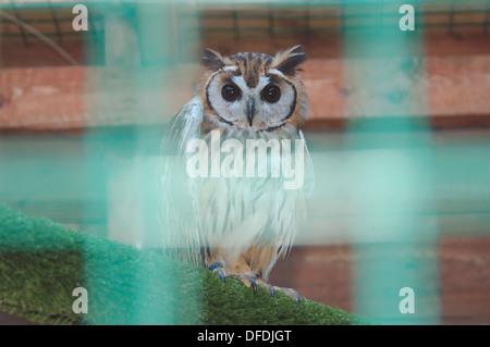 Die unverlierbaren outhern White konfrontiert scops Owl' - Stockfoto