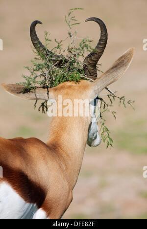 Springbok Antidorcas Marsupialis mit einem Zweig in seinem Kopf, Kgalagadi Transfrontier Park, Südafrika und Botswana - Stockfoto