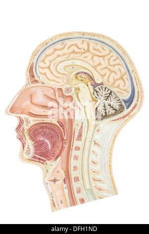Querschnitt des menschlichen Kopfes isoliert auf weißem Hintergrund - Stockfoto