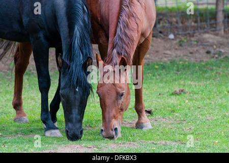 Arabian Horse (Schwarz) und Quarter Horse (rot) - Stockfoto