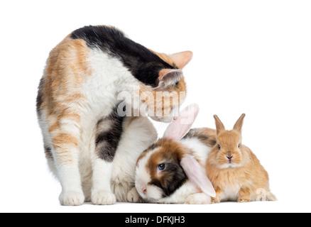 Europäisch Kurzhaar Katze mit Kaninchen vor weißem Hintergrund - Stockfoto