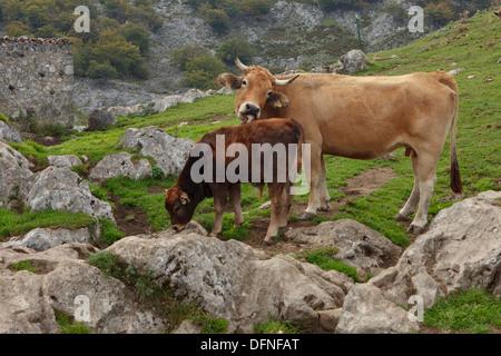 Kühe auf einem Berg Weide, Majadas Las Boblas, westlichen Picos de Europa, Parque Nacional de Los Picos de Europa, - Stockfoto