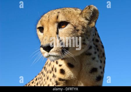 Porträt von einer weiblichen Gepard Acinonyx Jubatus Private Wildfarm nahe Windhoek, Namibia - Stockfoto