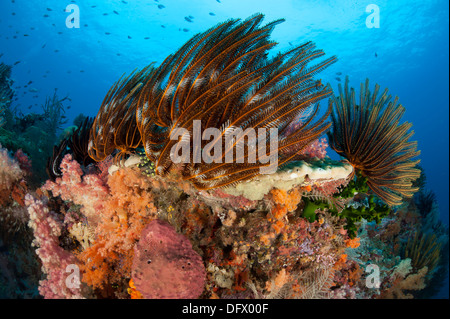 Bunte Seelilien und Weichkorallen schmücken ein Riff in Raja Ampat, West-Papua, Indonesien. - Stockfoto