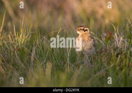 Moorschneehuhn (Lagopus Lagopus Scotica) junge Küken im Heidekraut Moorland. Sommer, Yorkshire Dales. - Stockfoto