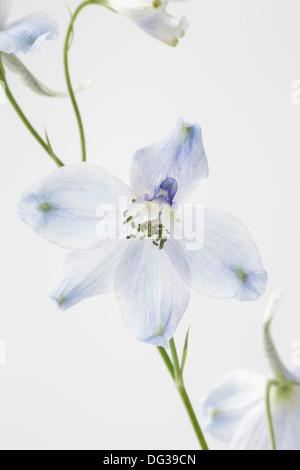 Delphinium hautnah - Stockfoto