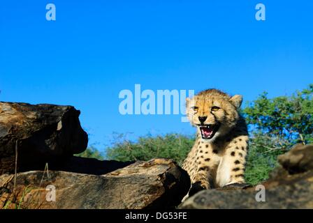 Junger Gepard Acinonyx Jubatus Zischen, zeigt seine Zähne Private Wildfarm nahe Windhoek, Namibia - Stockfoto