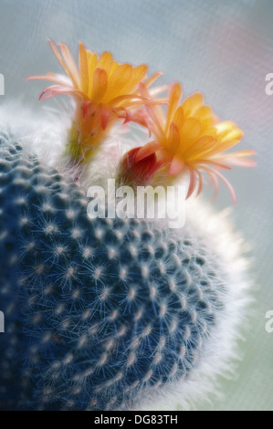 maryland usa zimmerpflanze kaktus sukkulenten stacheligen gr nen bl ttern stockfoto bild. Black Bedroom Furniture Sets. Home Design Ideas