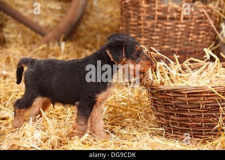 Welsh Terrier, Welpen, 7 Wochen | Welsh-Terrier, Welpe, 7 Wochen - Stockfoto