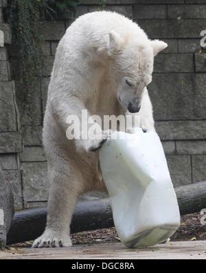 Wuppertal, Deutschland. 18. Oktober 2013. Fast zwei Jahre alte männliche Eisbär Luka erkundet sein neue Zuhause - Stockfoto
