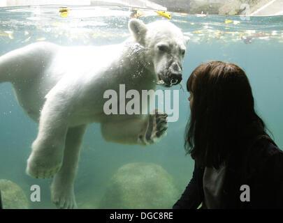 Wuppertal, Deutschland. 18. Oktober 2013. Fast zwei Jahre alte männliche Eisbär schwimmt Luka in sein neues Zuhause - Stockfoto