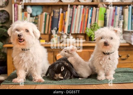 Ein Malteser Hund mit einem Kaninchen und Chinchilla im Hause UK - Stockfoto