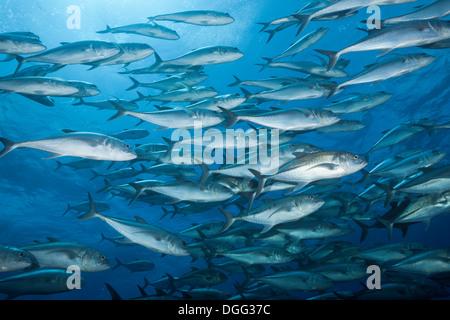 Fischschwarm von Bigeye Trevally, Caranx Sexfasciatus Socorro, Revillagigedo-Inseln, Mexiko - Stockfoto