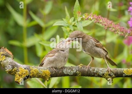 Young-Haussperling (Passer Domesticus) gefüttert durch ein Altvogel, Limburg ein der Lahn, Hessen - Stockfoto