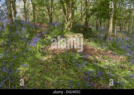 Eurasischer Dachs (Meles Meles) Sett unter zertrampelt Bluebell (Endymion nicht-Scriptus) blüht im Wald neue Abtei - Stockfoto