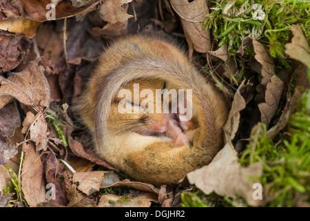 Gemeinsame oder Hazel Dormouse, Muscardinus Avellanarius, einzelne Erwachsenfrau in Erstarrung im Nest, Yorkshire - Stockfoto
