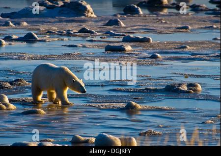 Polar Bear (Ursa Maritimus) auf subarktischen Hudsonbai Eis und Schnee, Churchill, MB, Canada - Stockfoto