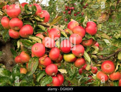 """Apple """"rot Pippin', Malus Domestica Äpfel verschiedene Sorten wachsen auf Baum - Stockfoto"""