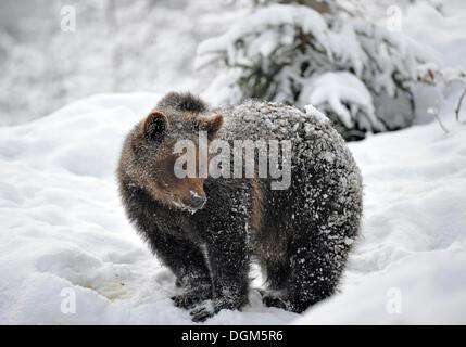 Europäischer Braunbär (Ursus Arctos) Juvenile im Schnee, Nationalpark Bayerischer Wald - Stockfoto