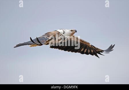 Fischadler oder afrikanischen Fischadler (Pandion Haliaetus) im Flug, Masai Mara, Kenia, Ostafrika, Afrika - Stockfoto
