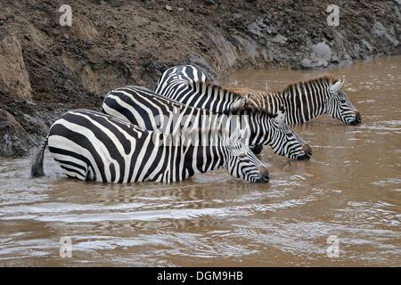 Gemeinsame, Ebenen oder Burchell Zebra (Equus Quagga), Herde am Ufer des Mara Flusses während der Migration, Kenia, - Stockfoto