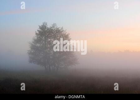 Bäume auf einer Wiese im Morgennebel, Stiege, Oberharz bin Brocken, Sachsen-Anhalt, Deutschland - Stockfoto