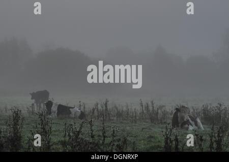 Etchingham, UK. 24. Oktober 2013. Kühe im Nebel am frühen Morgen auf einem Feld am Etchingham im Fluss Rother Tal. - Stockfoto