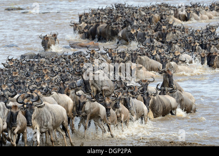 Gnus coming out am Fluss nach Überquerung - Stockfoto