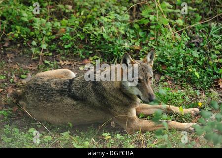 Italienischer Wolf Canis Lupus Italicus, Canidae, Nationalpark Abruzzen, Italien - Stockfoto