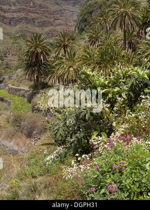 Vegetation auf Terrassen im Tal Valle Gran Rey, La Gomera, Valle Gran Rey, Kanarische Inseln, Spanien - Stockfoto