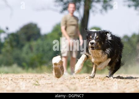Border Collie, die Jagd nach einem Beute-Dummy mit dem Eigentümer stehen auf der Rückseite, Doeberitz Heath, Havelland, - Stockfoto