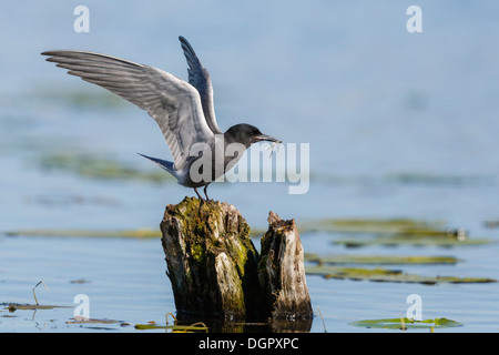 Schwarzen Seeschwalbe - Chlidonias niger - Stockfoto