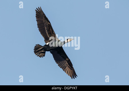 Kormoran Phalacrocorax carbo - Stockfoto
