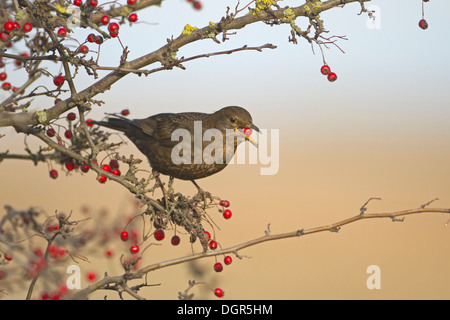 Amsel, Turdus Merula, Weiblich - Stockfoto