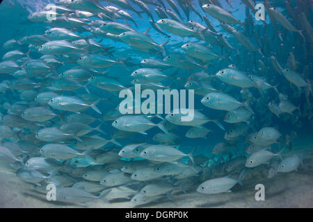 Typische schwärmen Verhalten von einer Schule Bigeye Trevally (Caranx Sexfasciatus) in einer Lagune, Philippinen - Stockfoto