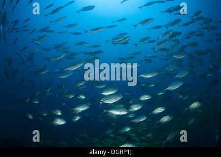 Großaugen-Makrelen-Schule (Caranx Sexfasciatus), Barrier Reef, Australien - Stockfoto