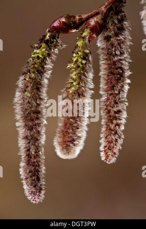 Kätzchen der Silberpappel Populus Alba im zeitigen Frühjahr. - Stockfoto