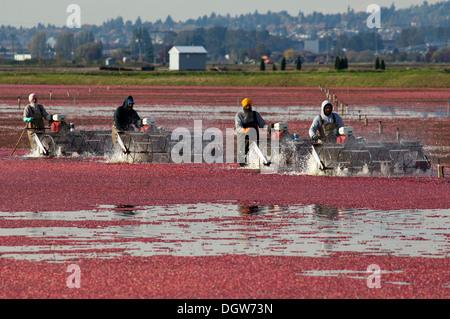Arbeiter ernten Preiselbeeren in Cranberry Moor. Delta, BC. Kanada. - Stockfoto