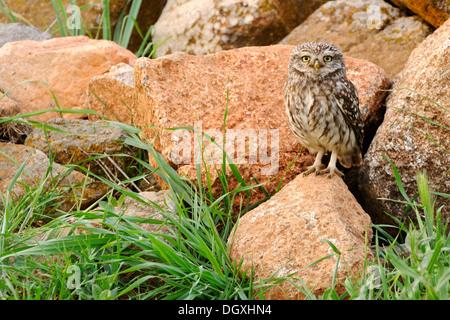 Steinkauz (Athene Noctua), auf Felsen gelegen - Stockfoto