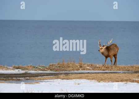 Hokkaido Sika Hirsch, Reh oder japanische Hirsch (Cervus Nippon Yesoensis), Männlich, Hirsch, entdeckt Shiretoko - Stockfoto