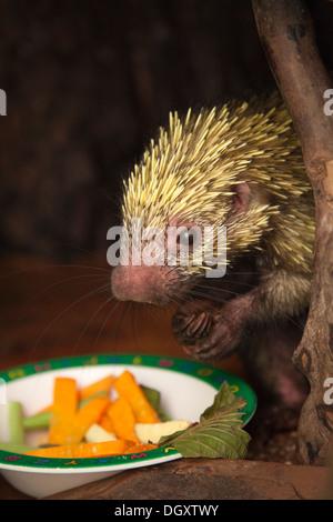 Mexikanische behaarten Zwerg Porcupine (Coendou mexicanus) eine Schale mit Früchten und Blättern im Heiligtum zugeführt - Stockfoto