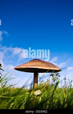 Wilde Riesenpilz in einem Feld - Stockfoto