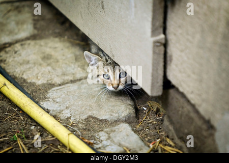 Brown-Tabby Kitten, Bauernhof Katze, schauen unter ein Scheunentor, Satteldorf, Hohelohe, Baden-Württemberg, Deutschland - Stockfoto