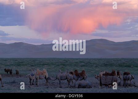 Kamel Herde im Abendlicht vor den great Sand Dunes Khorgoryn ELS in der Wüste Gobi - Stockfoto
