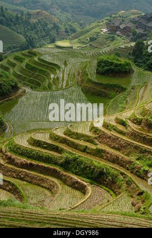 """Weltberühmten Reisterrassen von Longji """"Rückgrat des Drachen"""" oder """"Wirbel des Drachen"""" für Reisanbau, Dazhai, Ping'an - Stockfoto"""