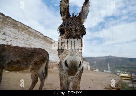 Esel am Tongren Kloster, Repkong, Qinghai, ehemals Amdo, Tibet, China, Asien - Stockfoto