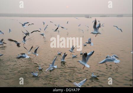 Morgen mit vielen Möwen am Fluss Ganges, Varanasi, Benares oder Kashi, Varanasi, Uttar Pradesh, Indien, Asien - Stockfoto