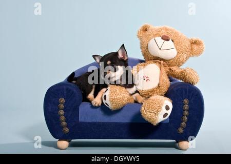 Chihuahua Welpen und Teddybär auf sofa - Stockfoto