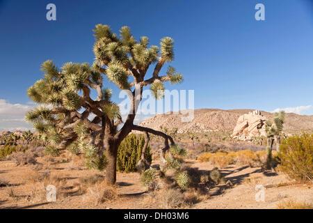 Joshua Tree (Yucca Brevifolia) in Landschaft des Hidden Valley, Hidden Valley, Joshua Tree Nationalpark, Kalifornien - Stockfoto